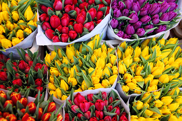 Brightly colour tulips